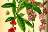 http://gardenpanorama.cz/wp-content/uploads/Illustration_Daphne_mezereum0-170x115.jpg