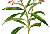http://gardenpanorama.cz/wp-content/uploads/Nerium_oleander_Blanco1.37-cropped1-170x115.jpg