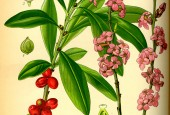 https://gardenpanorama.cz/wp-content/uploads/Illustration_Daphne_mezereum0-170x115.jpg